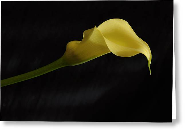 Calla Lily Yellow II Greeting Card by Ron White