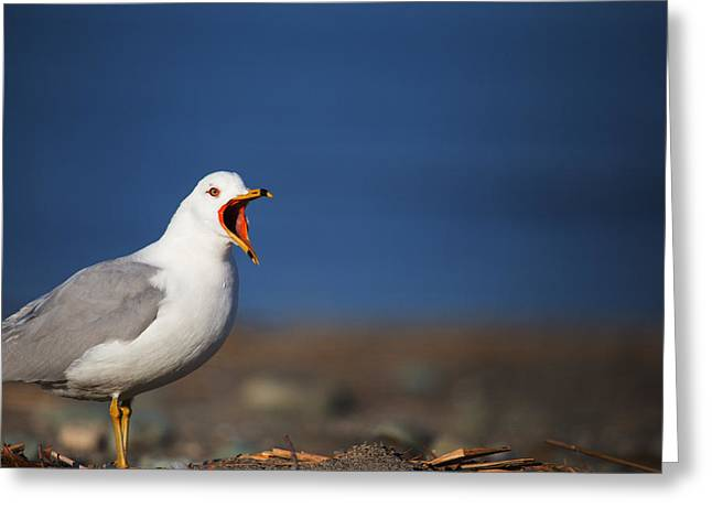 Ring-billed Gull Greeting Cards - Calling All Gulls Greeting Card by Karol  Livote