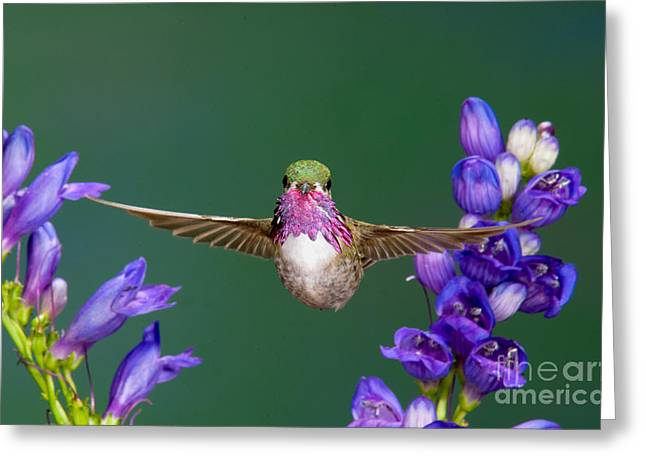 Calliopes Greeting Cards - Calliope Hummingbird Stellula Calliope Greeting Card by Anthony Mercieca