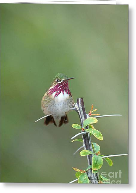 Calliopes Greeting Cards - Calliope Hummingbird Stellula Calliope Greeting Card by Art Wolfe