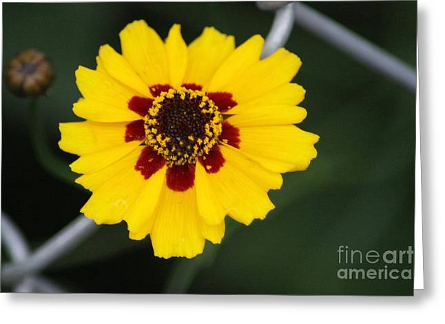 Oregon Greeting Cards - Calliopsis Daisy Flower Greeting Card by Mrsroadrunner Photography