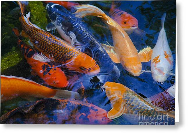 Calm Koi Fish Greeting Card by Jerry Cowart