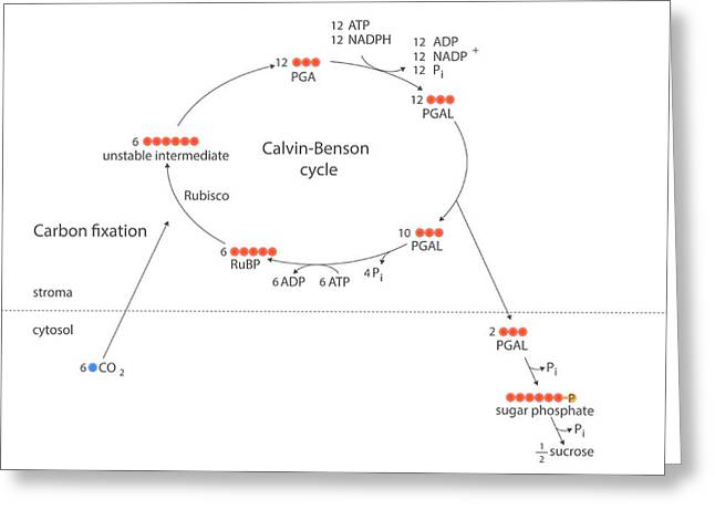 Calvin-benson Metabolic Cycle Greeting Card by Science Photo Library