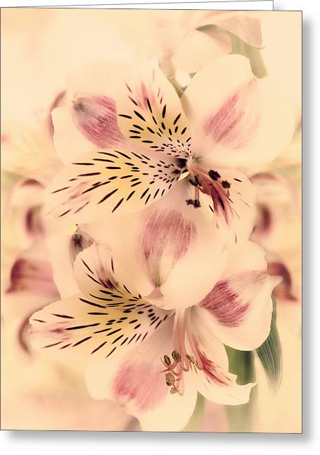 Peruvian Lily Greeting Cards - Calypso Greeting Card by Darlene Kwiatkowski