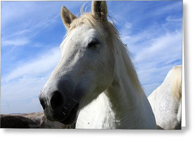 Horse Images Greeting Cards - Camargue Horse Portrait Greeting Card by Aidan Moran