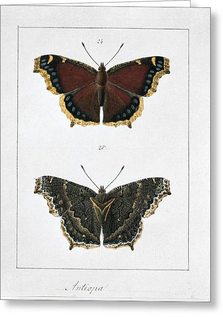 Invertebrates Greeting Cards - Camberwell beauty butterfly, artwork Greeting Card by Science Photo Library