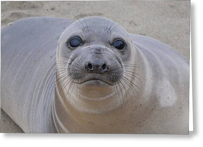 Cambria Greeting Cards - Cambria Baby Seal Greeting Card by Christine Owens
