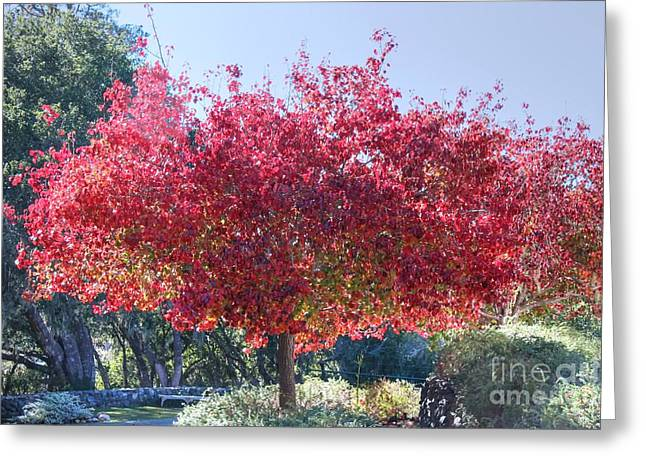 Cambria Greeting Cards - Cambria Red Tree Greeting Card by Tap On Photo