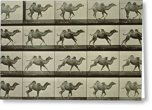 Sequence Greeting Cards - Camel Greeting Card by Eadweard Muybridge