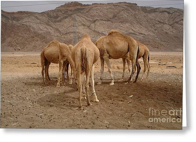 Jordan Trail Greeting Cards - Camel Conference Greeting Card by Noa Yerushalmi