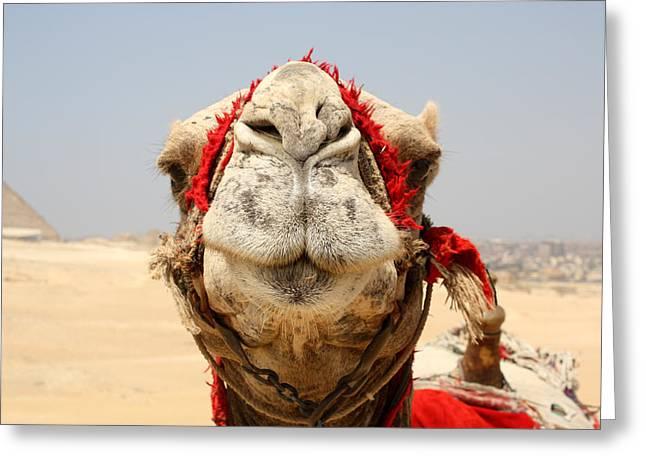 Laura Hiesinger Greeting Cards - Camel kiss Greeting Card by Laura Hiesinger