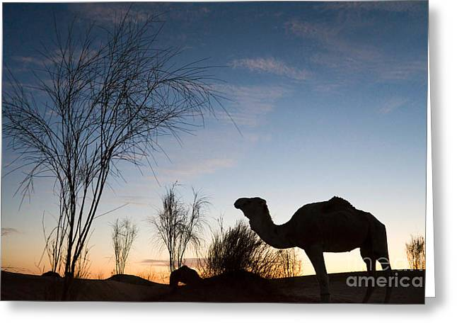 Dromedary Greeting Cards - Camel sunset Greeting Card by Delphimages Photo Creations