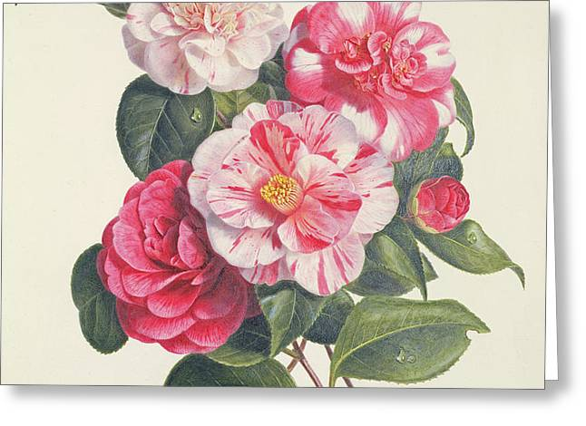 Camelias Greeting Card by Augusta Innes Withers
