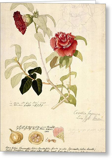 1700s Greeting Cards - Camellia japonica, 18th century artwork Greeting Card by Science Photo Library