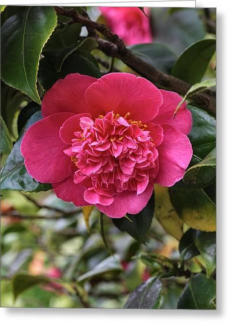 Camellia Japonica Mrs Swan Greeting Card by Geoff Kidd