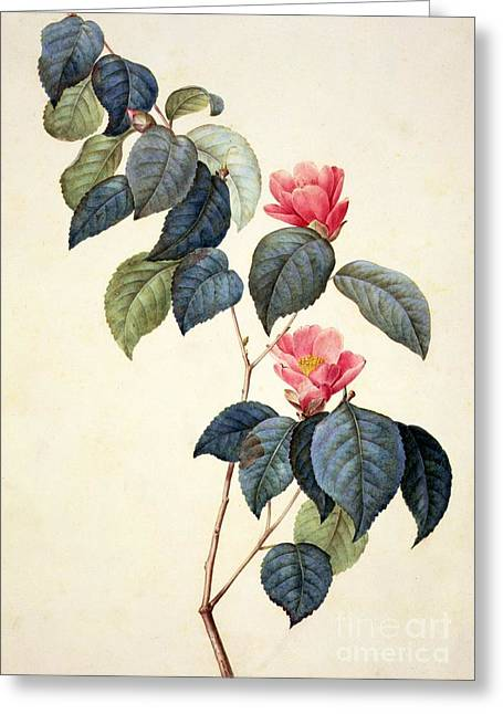 Green Leafs Drawings Greeting Cards - Camellia Japonica Greeting Card by Pierre Joseph Redoute