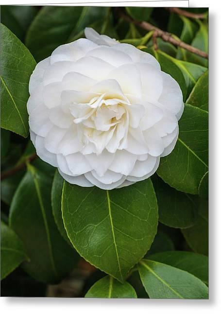 Camellia Japonica 'primavera' Greeting Card by Geoff Kidd