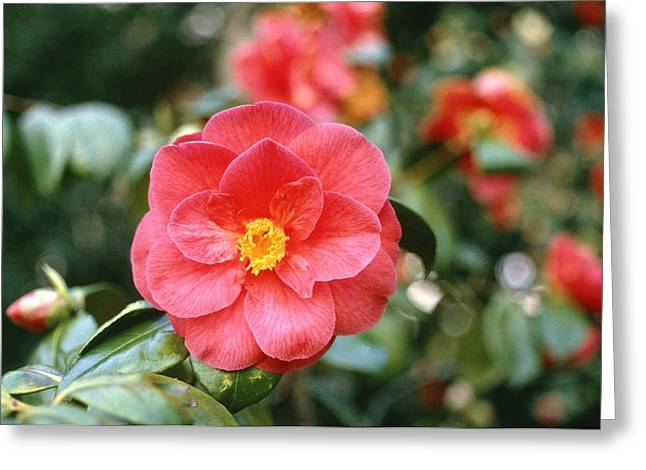 Camellia Japonica Greeting Cards - Camellia japonica Greeting Card by Science Photo Library