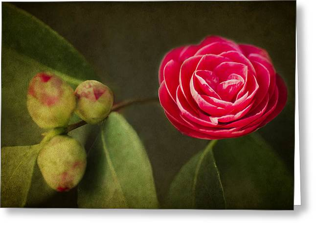 Camellia Photographs Greeting Cards - Camellia Greeting Card by Rebecca Cozart