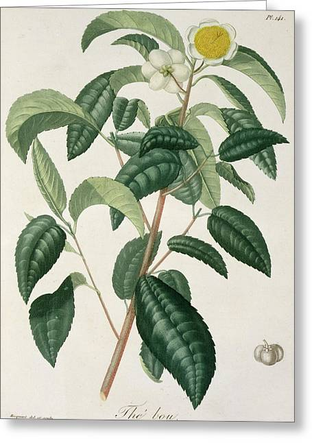 Green Leafs Greeting Cards - Camellia Thea Greeting Card by LFJ Hoquart