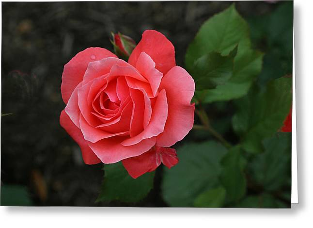 Camelot Greeting Cards - Camelot Grandiflora Rose Greeting Card by Allen Beatty