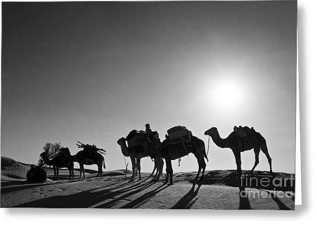 Dromedary Greeting Cards - Camels Greeting Card by Delphimages Photo Creations