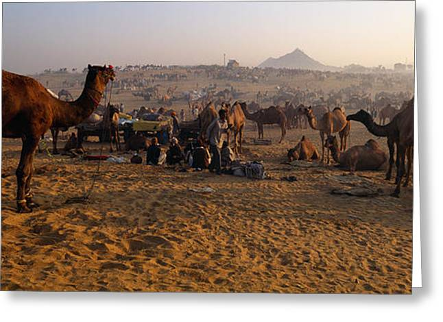 Dromedary Greeting Cards - Camels In A Fair, Pushkar Camel Fair Greeting Card by Panoramic Images