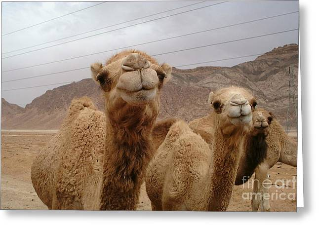 Jordan Trail Greeting Cards - Camels Greeting Card by Noa Yerushalmi