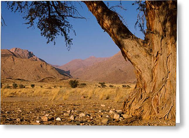 Tree. Acacia Greeting Cards - Camelthorn Tree Acacia Erioloba Greeting Card by Panoramic Images