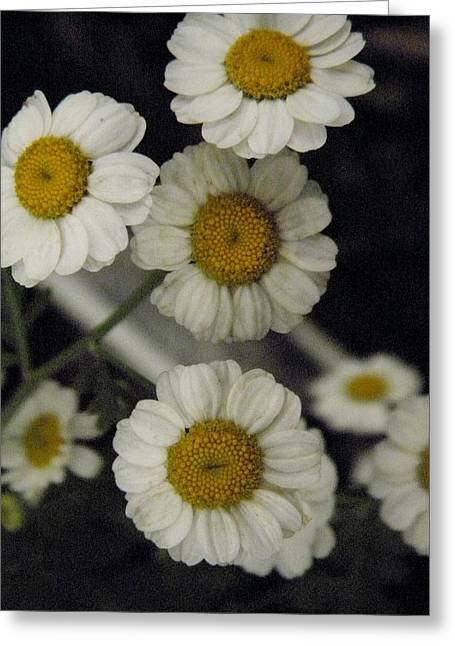 Marijo Fasano Greeting Cards - Camomile Greeting Card by Marijo Fasano