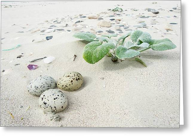 Camouflaged Caspian Tern Nest Greeting Card by Peter Chadwick