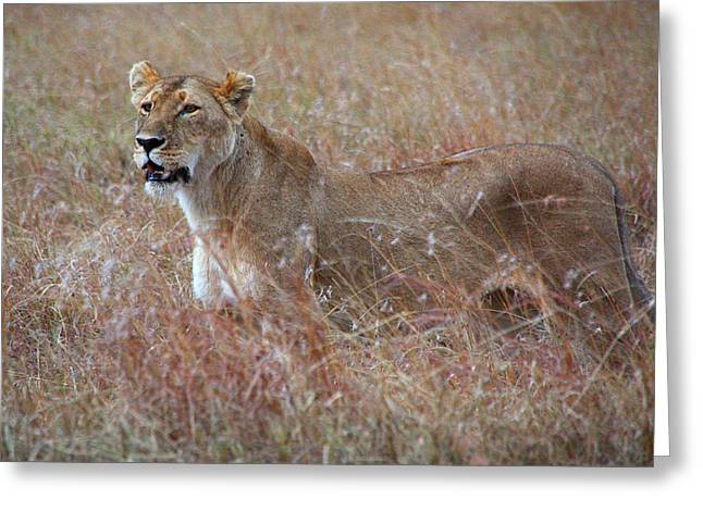 Lioness Greeting Cards - Camouflaged Female Lion in Grass Greeting Card by Carole-Anne Fooks