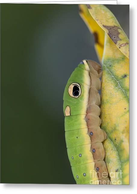 Spicebush Swallowtail Greeting Cards - Camouflaged Spicebush Swallowtail Caterpillar Macro Greeting Card by Brandon Alms