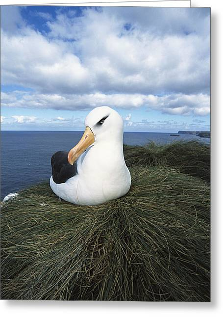 Campbell Albatross Bull Rock Campbell Greeting Card by Tui De Roy