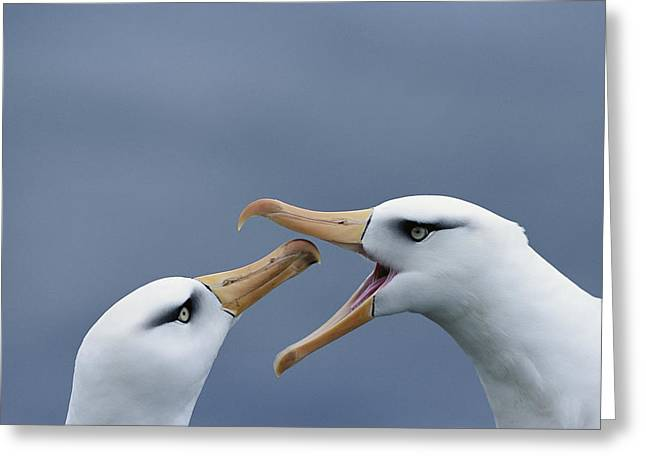 Wildlife Celebration Greeting Cards - Campbell Albatross Courtship  Campbell Greeting Card by Tui De Roy