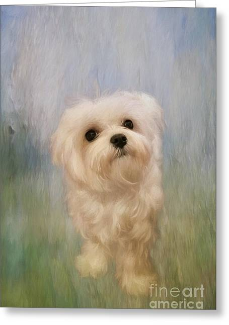 Maltese Dogs Greeting Cards - Can We Play Now Greeting Card by Lois Bryan