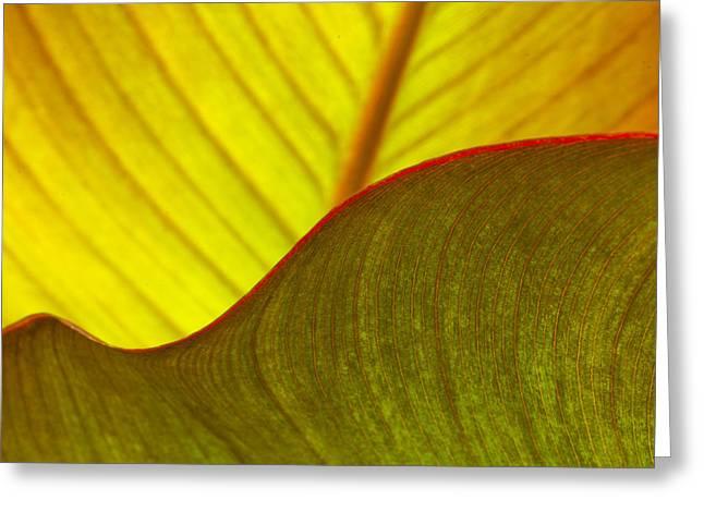 Canna Lily Leaf Curves Greeting Card by Marina Kojukhova