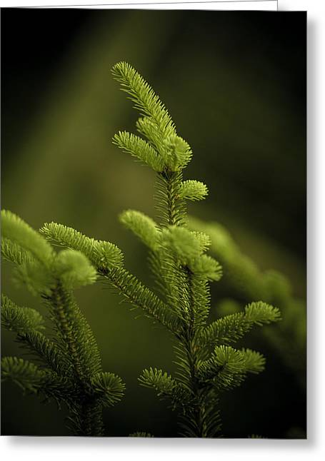 Fir Trees Photographs Greeting Cards - Canaan Fir Greeting Card by Shane Holsclaw