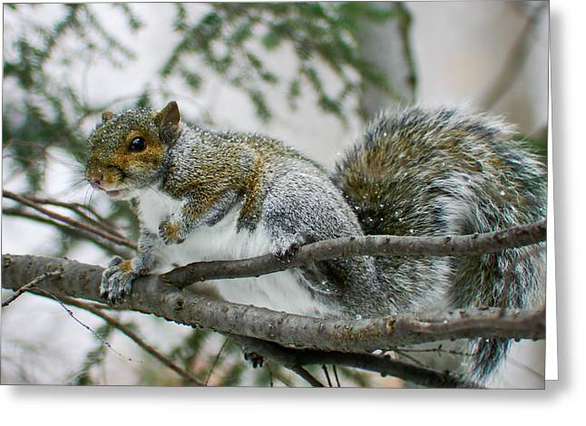 Tree Squirrel Greeting Cards - Canaan Valley Snowy Squirrel Greeting Card by Shane Holsclaw