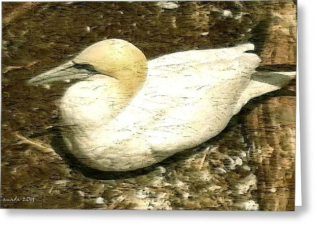 Painted Wood Drawings Greeting Cards - Canada Gannet - Bird Illustration Greeting Card by Peter Fine Art Gallery  - Paintings Photos Digital Art