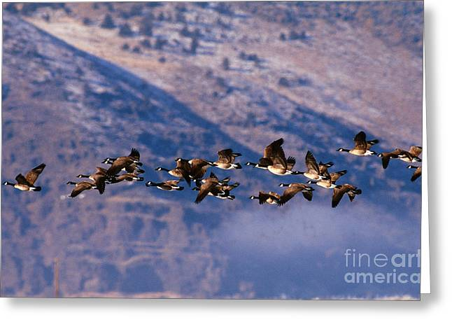 Canada Goose Greeting Cards - Canada Geese Greeting Card by Art Wolfe