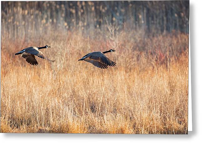 Bird In Flight Greeting Cards - Canada Geese Greeting Card by Bill  Wakeley