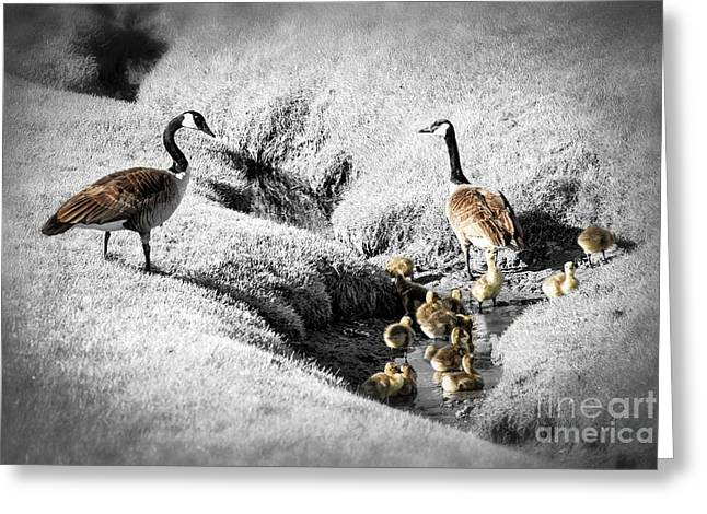 Water Fowl Photographs Greeting Cards - Canada geese family Greeting Card by Elena Elisseeva