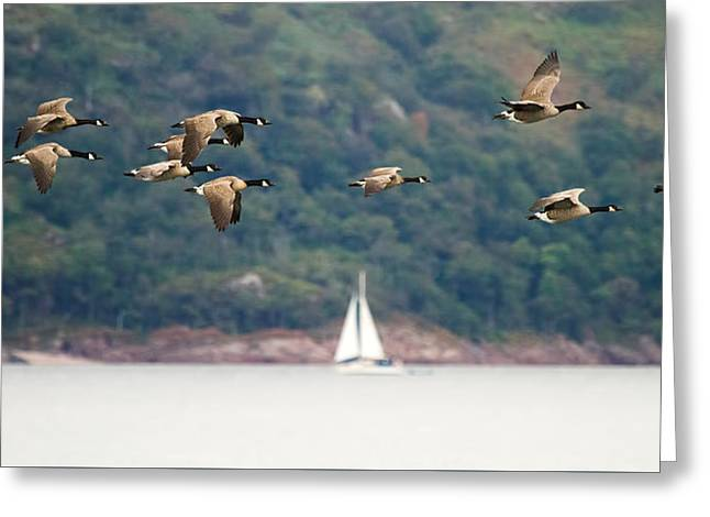 Canada Geese In Flight Mull Scotland Greeting Card by Mr Bennett Kent