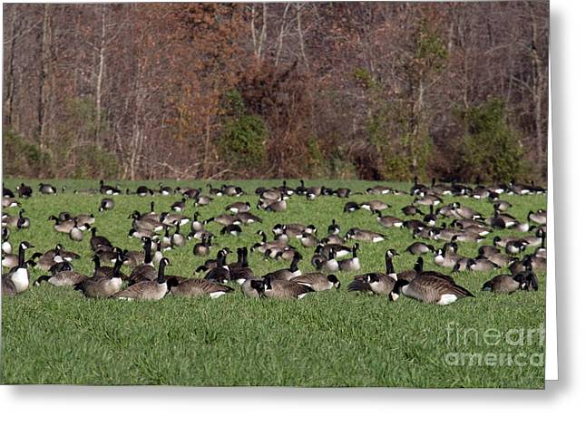 Water Fowl Greeting Cards - Canada Geese Greeting Card by Mark Newman