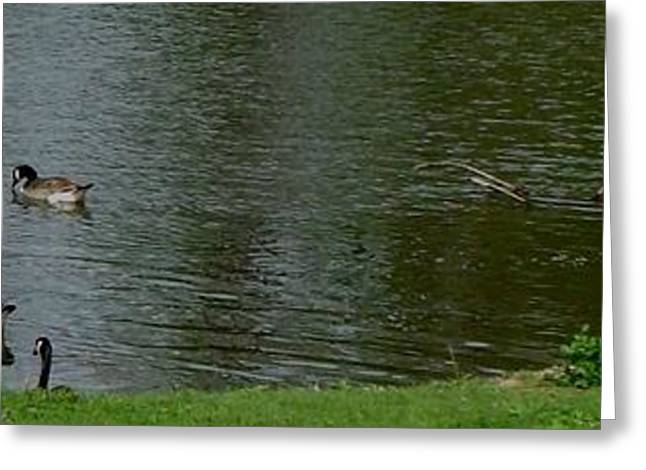 Purchase Greeting Cards - Canada Geese Nice Day for swimming Greeting Card by Gail Matthews