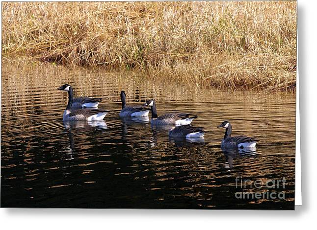 Gaggle Greeting Cards - Canada Geese Greeting Card by Sharon  Talson