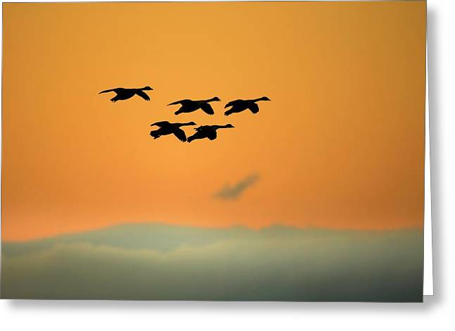 Canada Geese Greeting Card by Simon Booth