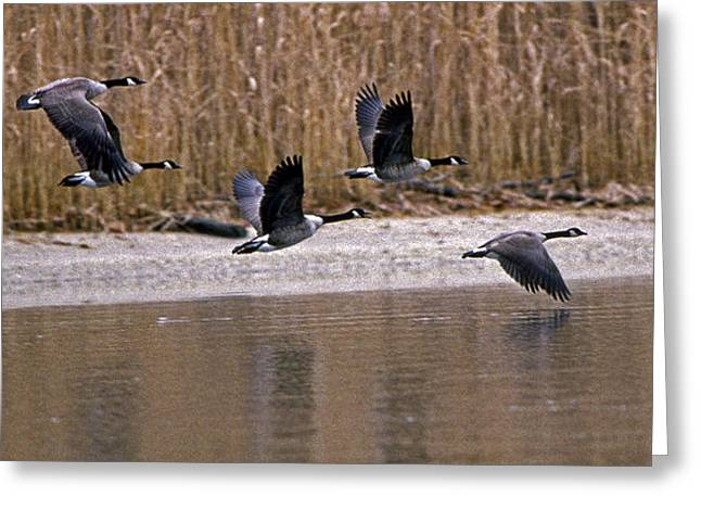 Photos Of Birds Greeting Cards - Canada Geese Greeting Card by Skip Willits