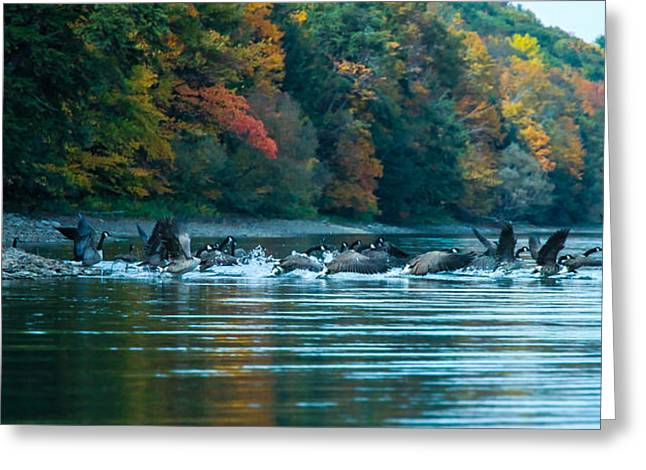 Canada Geese Taking Flight Greeting Card by Steve Clough